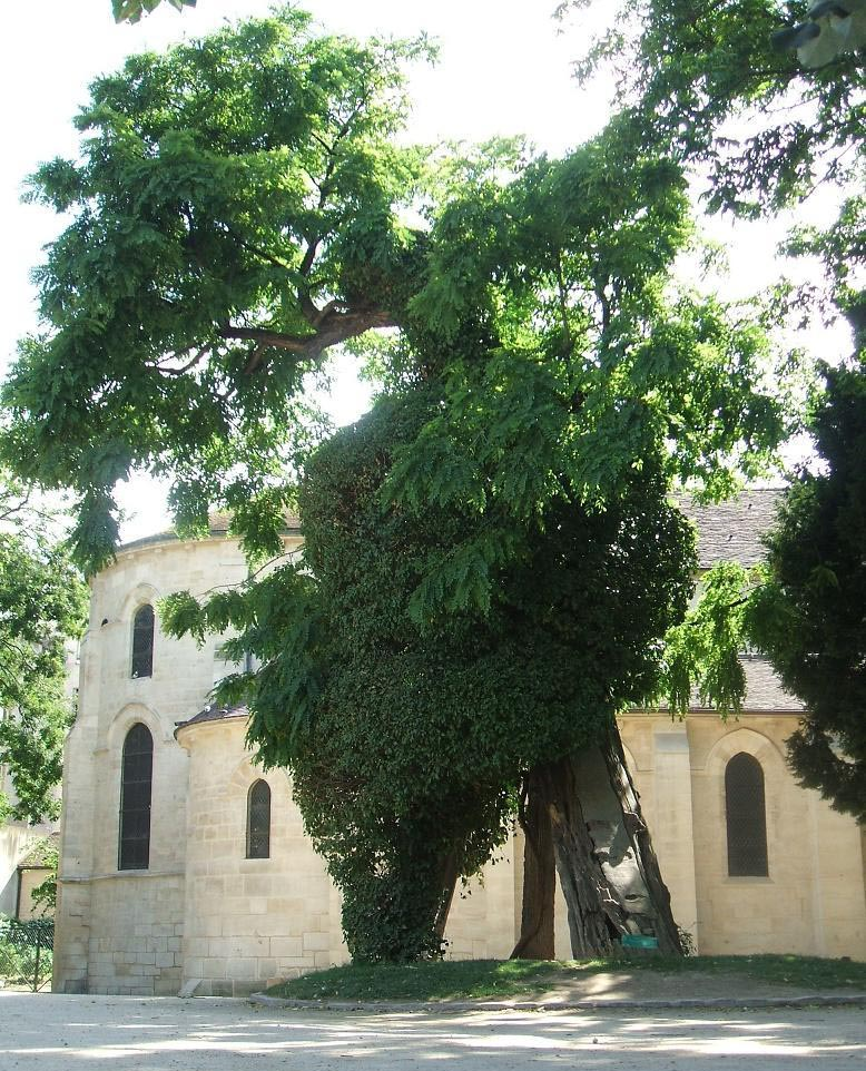 The oldest tree in Paris